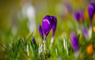 紫色番红花清新壁纸